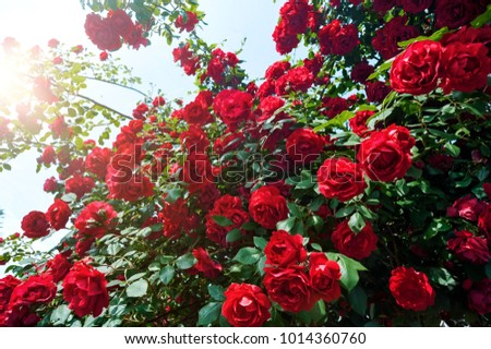 red rose bush in the garden