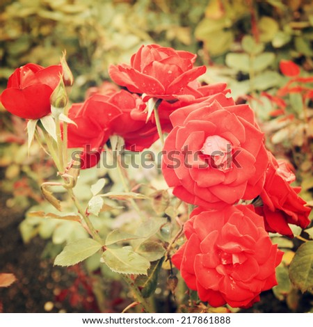Red Rose bush - vintage effect. Blooming roses bunched together - retro filter. Red rose background. Flowers. - stock photo