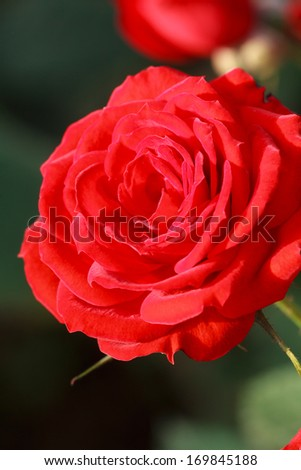 Red Rose Close up Background - stock photo