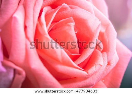 red rose close-up can use as wedding background a symbol of love