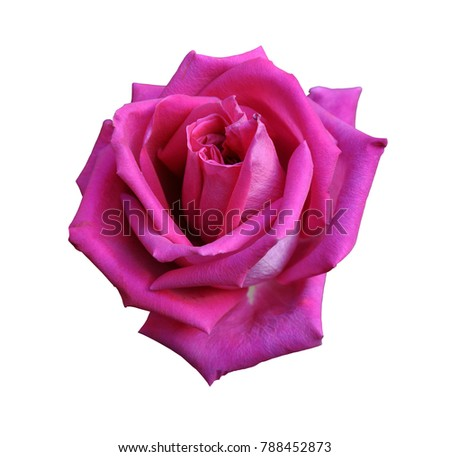 Red rose close-up isolated on white background, large flower, Valentines day element