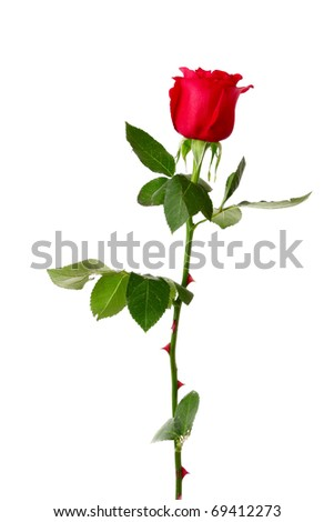 Red rose closeup isolated on white - stock photo