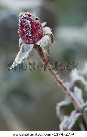 Red rose covered with morning frost - stock photo
