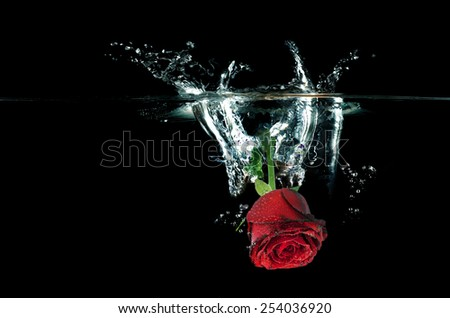 Red Rose falling on water splashing. Closeup image isolated on Black background