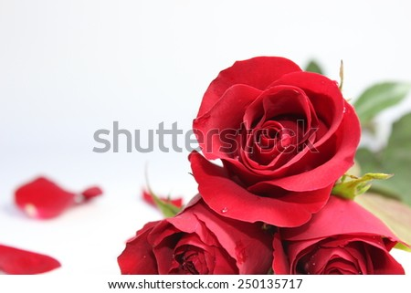 Red Rose flower for valentine day,on background