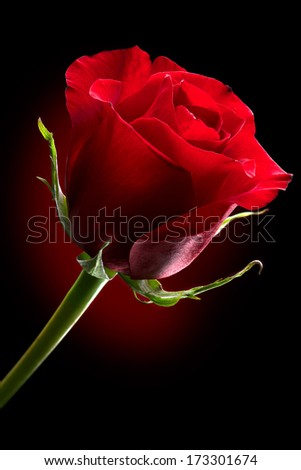 Beautiful Dark Red Roses Beautiful dark red rose