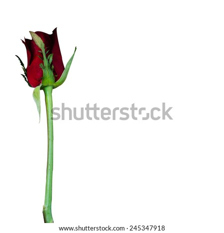 red rose flower long stick on white background , space for text in card