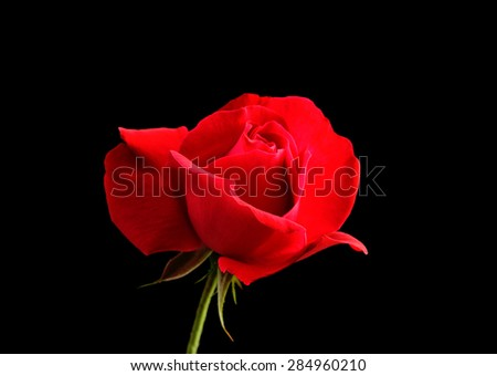 red rose flower on a black background - stock photo