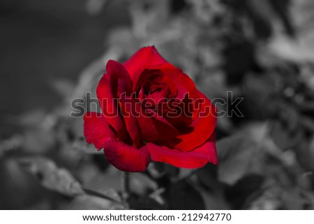 red rose flower on black and white  - stock photo