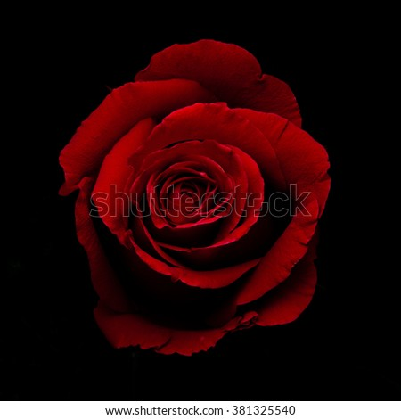 red rose flower on black background - stock photo