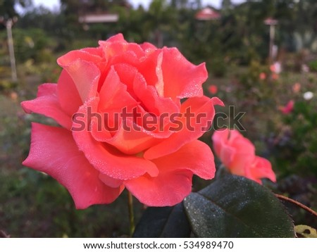 Red rose flower with water droplets blossom on soft natural background