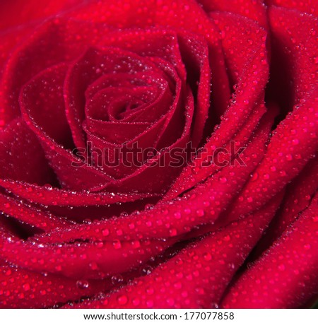Red rose flower with water droplets. Close-up photo - stock photo