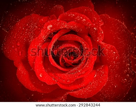 Red rose flower with water drops. Holidays greetings card concept. Selective focus and vignette - stock photo