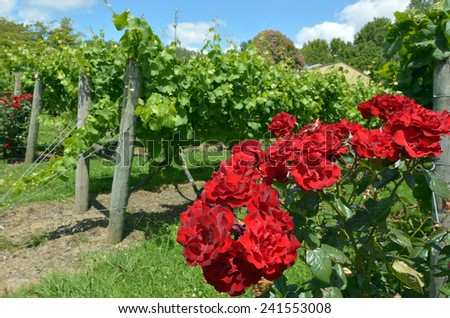 Red rose flowers plant grows in a wine vineyard for attractiveness to pollinators such as the honeybees, native bees and butterflies. - stock photo