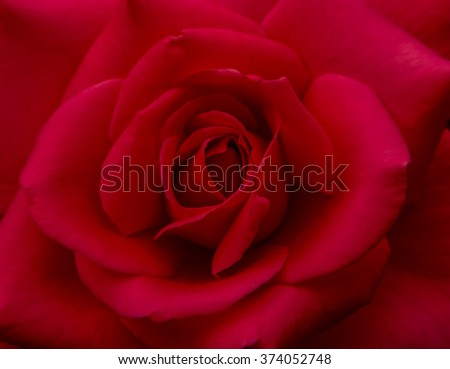 Red Rose for Valentine - stock photo