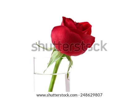 Red rose for valentine's gift