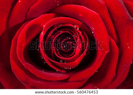 small red rose stock images, royaltyfree images  vectors, Beautiful flower