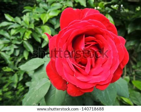 Red rose in garden - stock photo