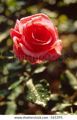 Red rose in the dew of morning - stock photo