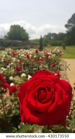 Red Rose in the Rose Garden - stock photo