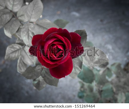 Red rose in the wild - stock photo