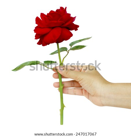 red rose in the woman's hand on white background