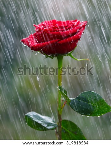 Red rose into the rain - stock photo
