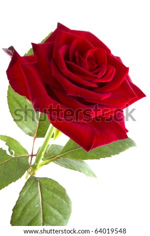 Red rose is standing up - stock photo