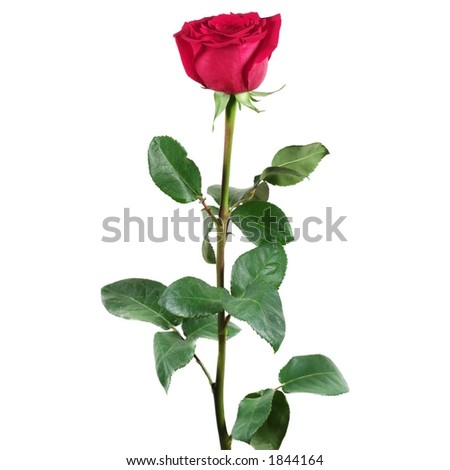 Red rose isolated - stock photo