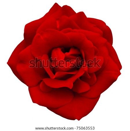 Red rose isolated on the white background - stock photo