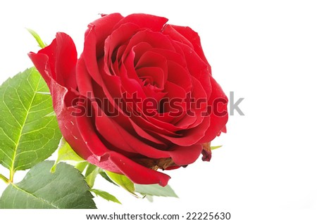 Red rose, Isolated On White - stock photo