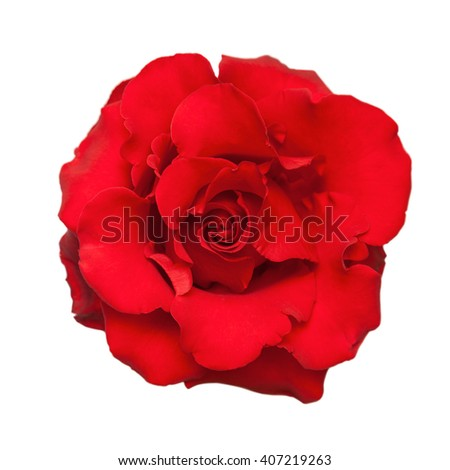 Red rose. Isolated on white background.
