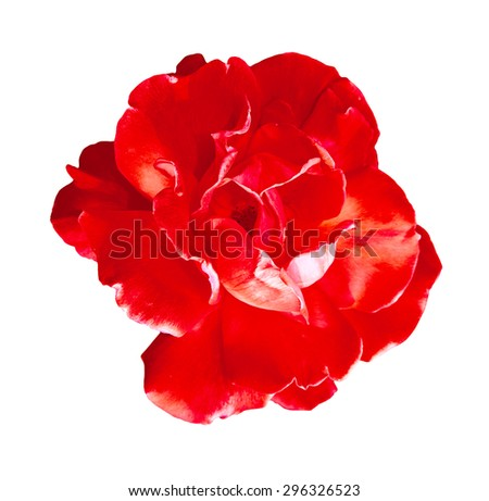 Red rose. Isolated on white background. Close-up.