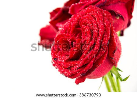 red rose isolated on white background / rose flower / perfect seamless pattern tiled beautiful roses / nature texture studio photo