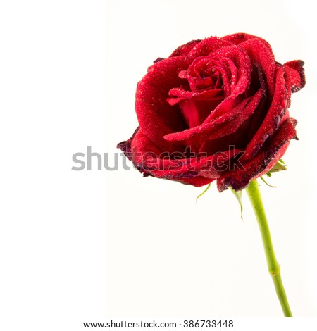 red rose isolated on white background / rose flower / perfect seamless pattern tiled beautiful roses / nature texture studio photo  - stock photo