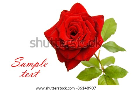 Red rose isolated on white with space for text