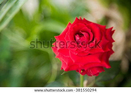 Red Rose Lover