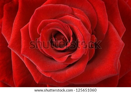 Red rose macro - stock photo