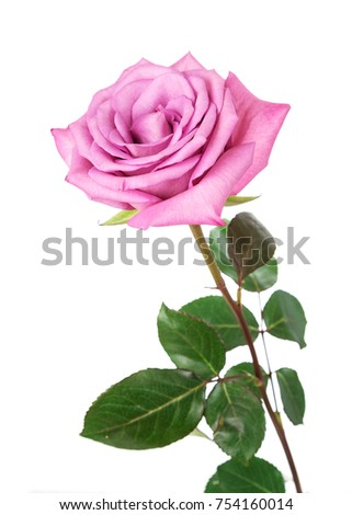 Red rose  on a white background. Flower on Valentine's Day.