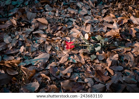 Red rose on  Background dry leaves