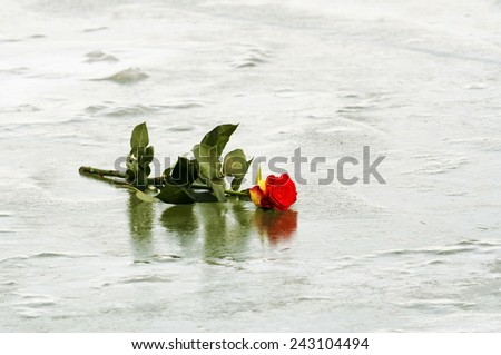 Red rose on ice - stock photo