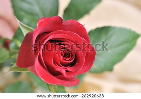 Red rose on satin - stock photo