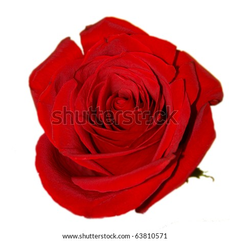 Red rose on the white background (isolated) - stock photo
