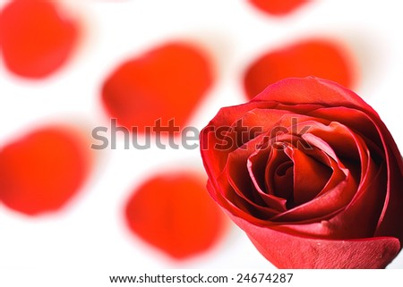 Red rose on white with red petals background - stock photo
