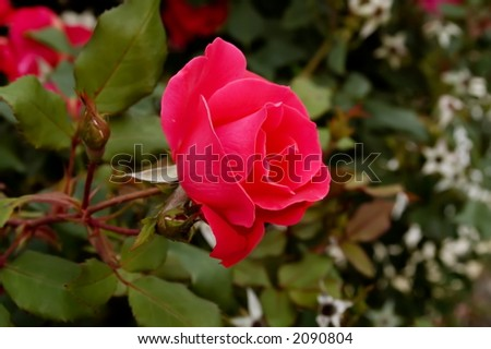 Red rose outdoors - stock photo
