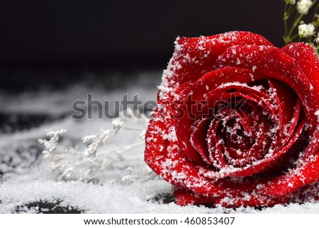 Red rose over snow