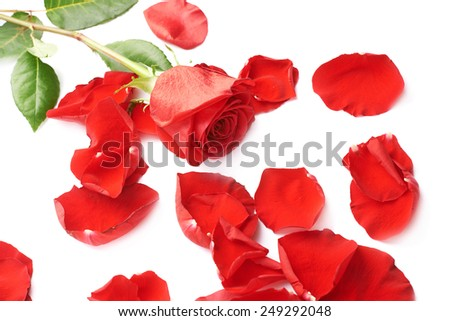 Red rose over the white surface covered with the rose petals as a romantic background composition - stock photo