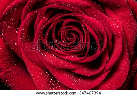Red rose petals with rain drops closeup. Red Rose. - stock photo