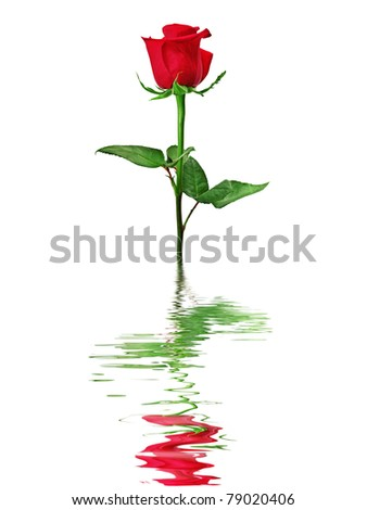 Red rose reflected in water isolated on a white background. - stock photo