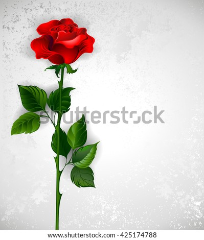Red rose with a straight stem and green leaves on a light background. Design with roses. Red rose.  - stock photo